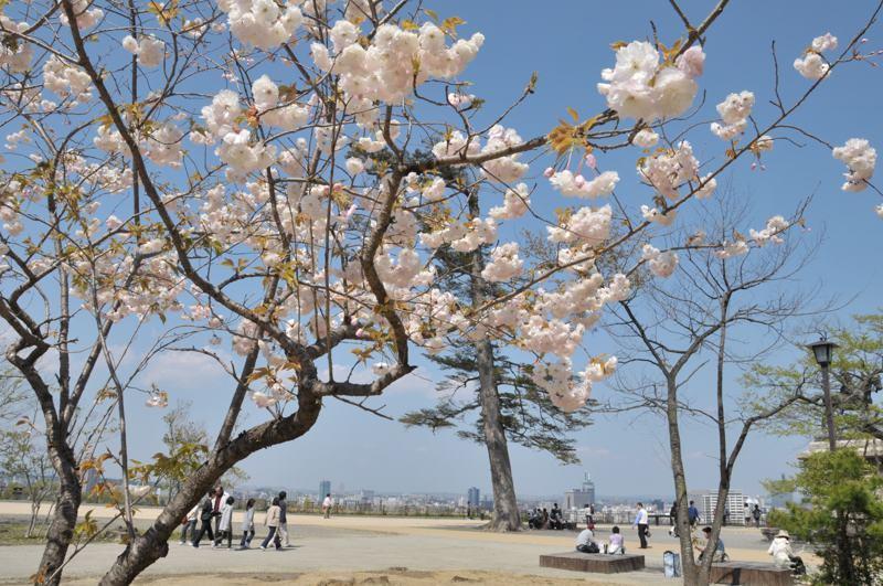 仙台城址の桜