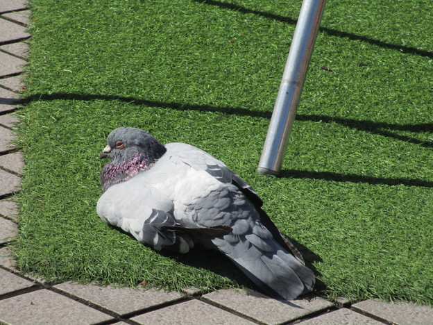 鳩の転寝(うたたね)