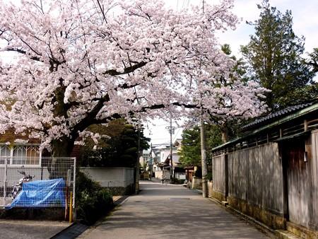 4、寺町〜犀川の桜