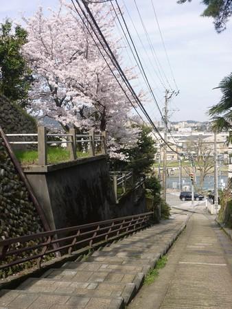 7、寺町〜犀川の桜