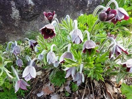 吉岡園地のオキナグサの花