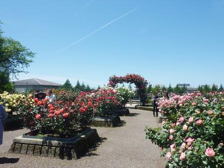 春の薔薇園(3)