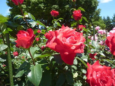 春の薔薇園(11)