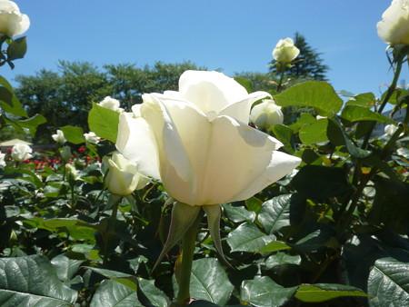 春の薔薇園(12)
