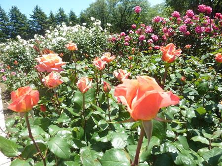 春の薔薇園(13)