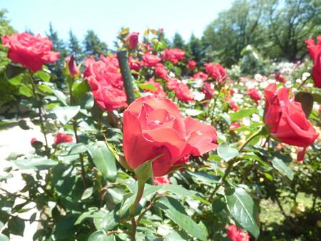 春の薔薇園(14)