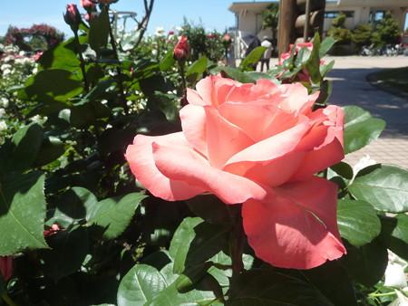 春の薔薇園(15)