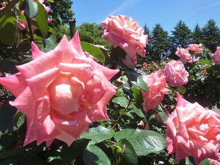 春の薔薇園(21)
