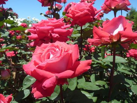 春の薔薇園(22)