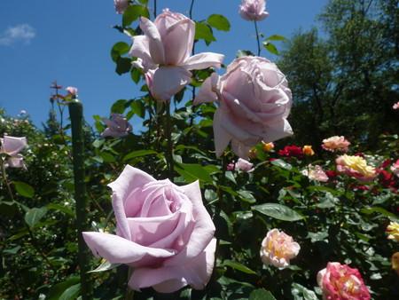 春の薔薇園(23)