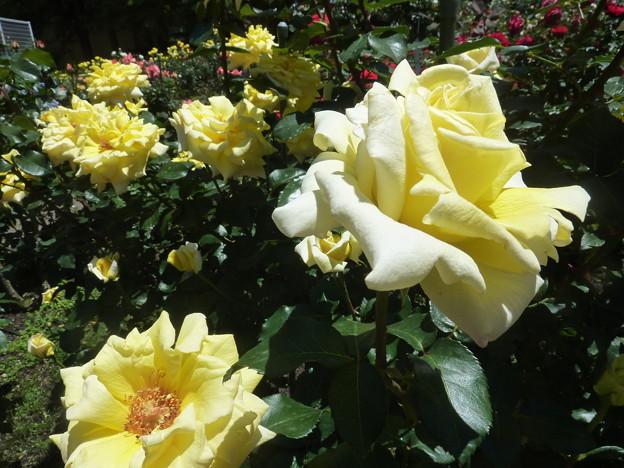 春の薔薇園(24)