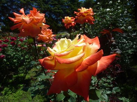 春の薔薇園(25)