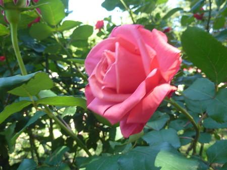 春の薔薇園(31)