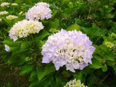13-大乗寺丘陵公園 フラミンゴ
