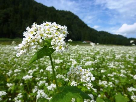 一面に白き蕎麦の花