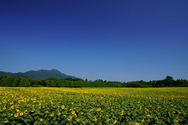 ひまわり畑全景