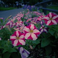 写真: 花壇の夏