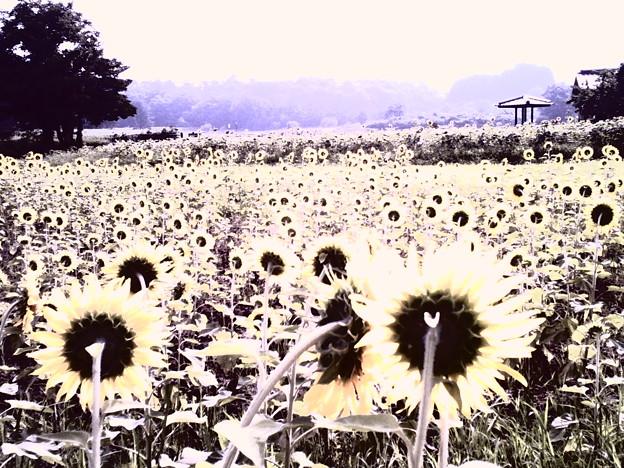 写真: 吉備向日葵