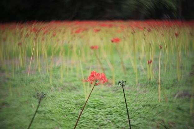 Photos: 曼珠沙華