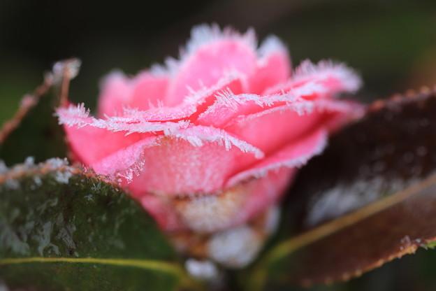 写真: 霜中花