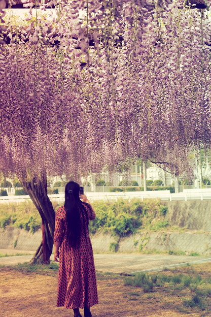 日本一藤公園