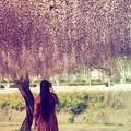 Photos: 日本一藤公園