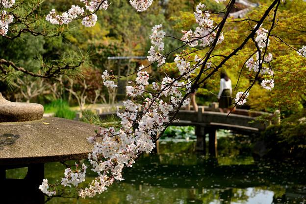 四天王寺の桜 20190404-1