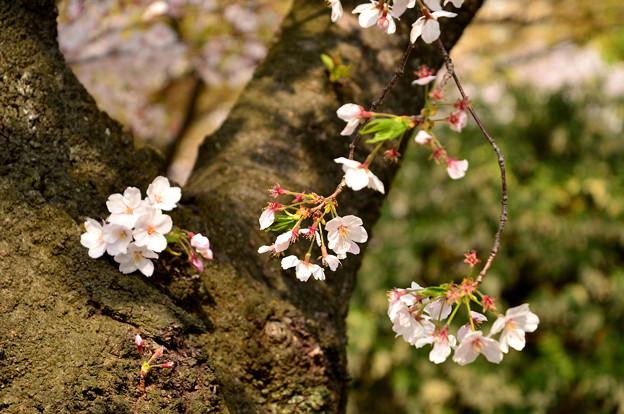 四天王寺の桜 20190404-3