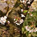 Photos: 四天王寺の桜 20190404-3