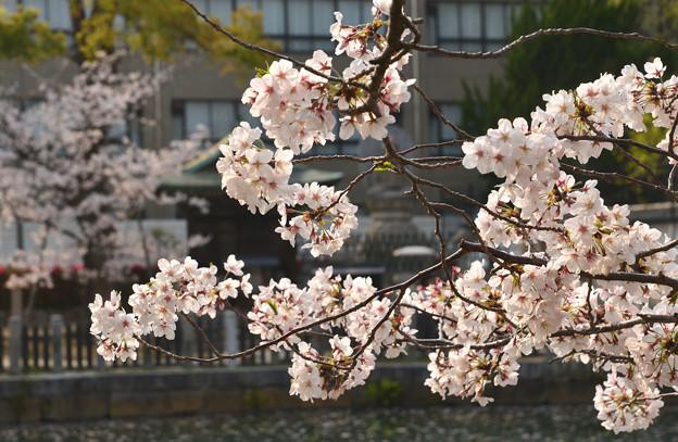 四天王寺の桜 20190404-5