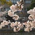 Photos: 四天王寺の桜 20190404-5