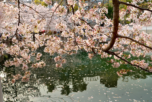 四天王寺の桜 20190404-9