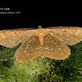 ハグルマエダシャク本土亜種 20180616