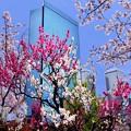 Photos: 大阪城桃園