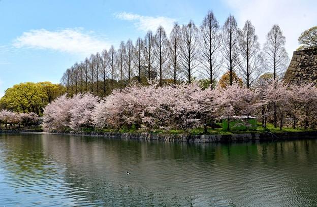 大阪城公園の桜