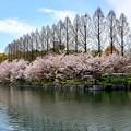 Photos: 大阪城公園の桜
