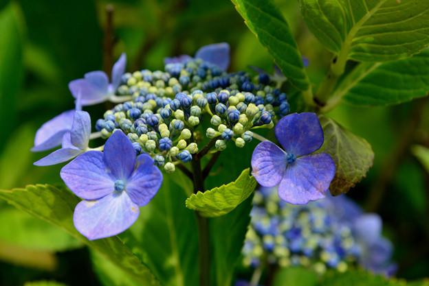 善峯寺の紫陽花 #2