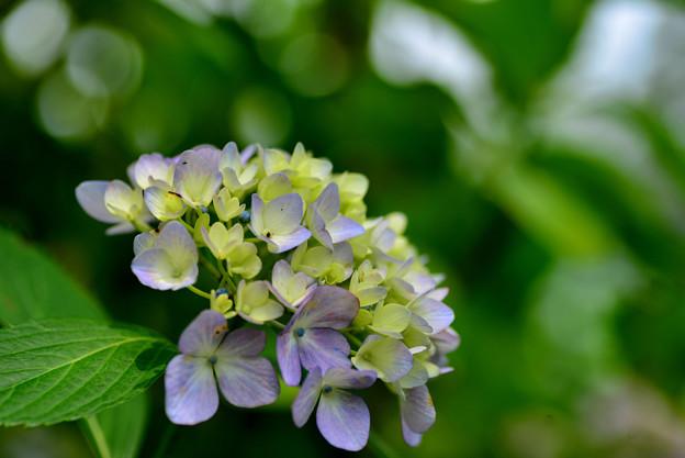 善峯寺の紫陽花 #5