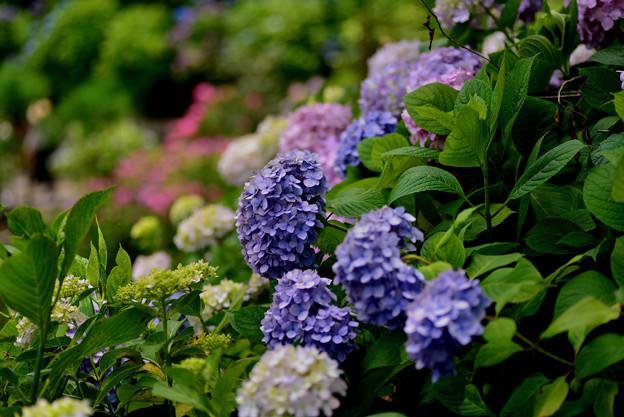 善峯寺の紫陽花 #6