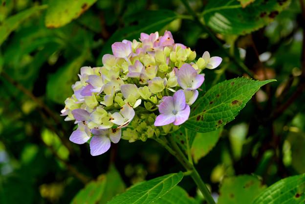 善峯寺の紫陽花 #7