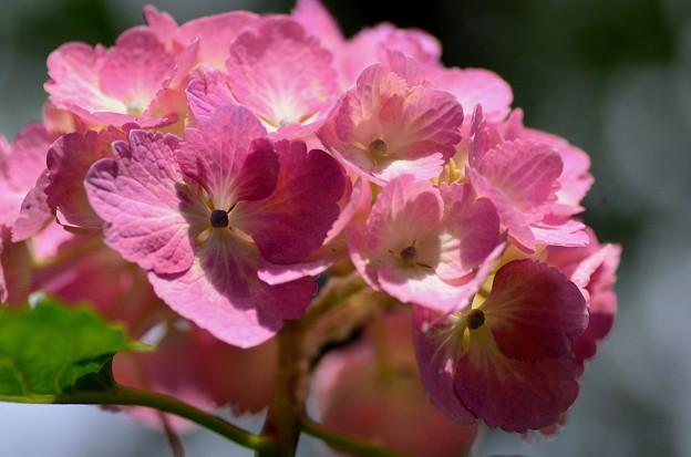 善峯寺の紫陽花 #8