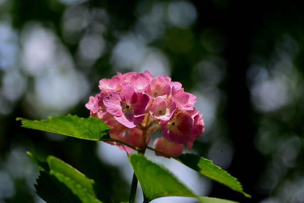 善峯寺の紫陽花 #9
