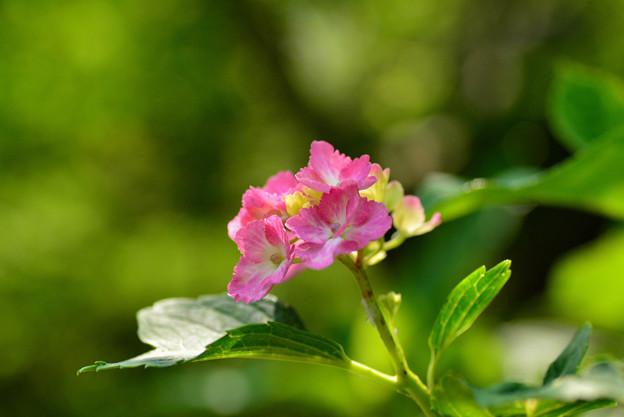 善峯寺の紫陽花 #10