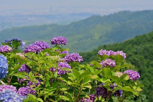 善峯寺の紫陽花 #13