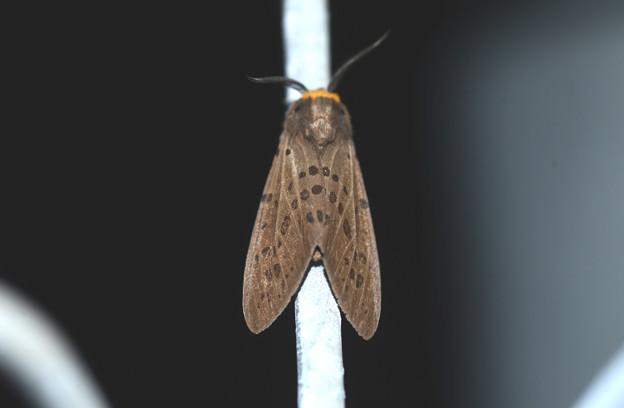 クワゴマダラヒトリ 20200907