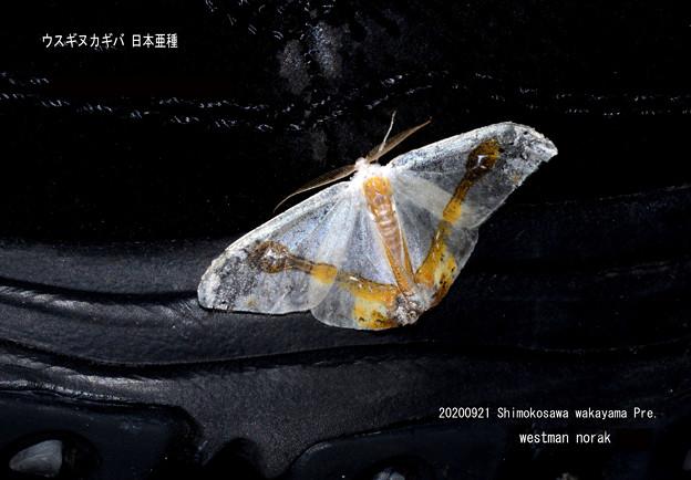 ウスギヌカギバ 20200921