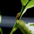 アゲハ幼虫#1