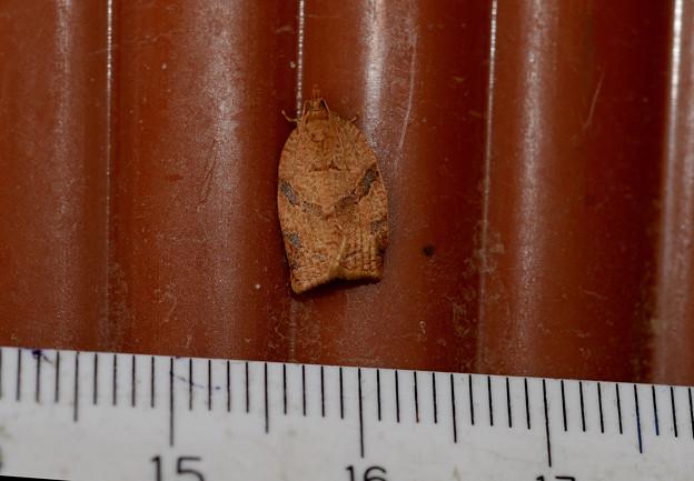 未同定 Adoxophyes sp.♀  20201013