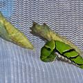 Photos: アゲハが蛹になりました。 20201014