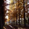 Photos: メタセコイヤの並木